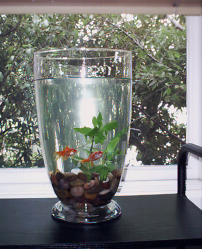 Our one goldfish in a large, tall bowl/vase back in 2001