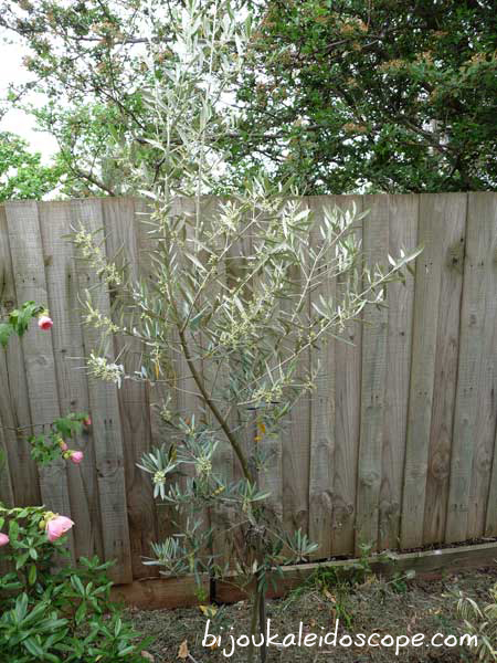 Our olive tree! Thank you, past owners!