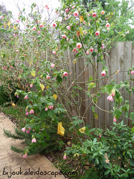 Pretty pink Chinese lantern tree in our back courtyard