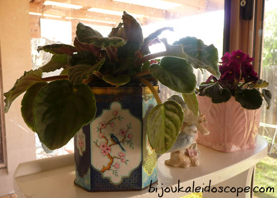 My African violet housed in one of my favourite tea tins