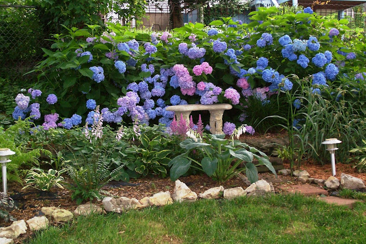 A pretty sitting corner of the garden amongst blue and pink hydrangea bushes
