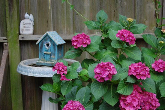 Small pink hydrangea against wooden palings
