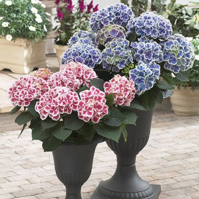 Variegated blue and pink and white hydrangea in tall urns