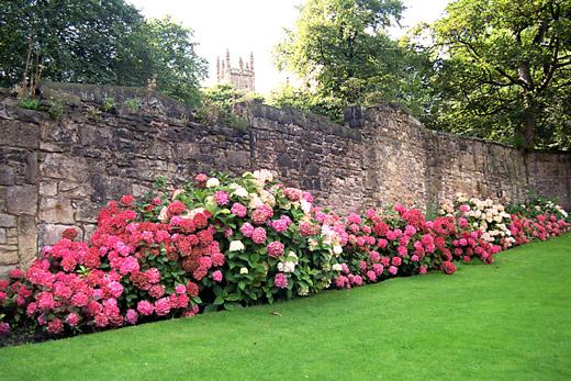 Beautiful pink hydrangea bushes along a high stone wall