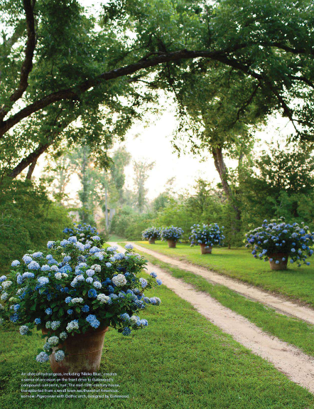 Driveway lined with large blue hydrangea in tall large urn vases