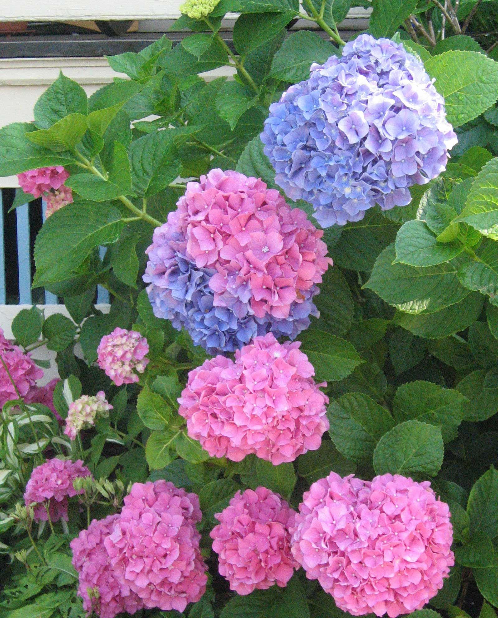 Big hydrangea blooms in pink and blue depending on the acidity of the soil