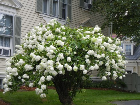 Tall white hydrangea in a large, tall urn