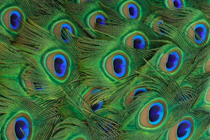 blue green and gold peacock feathers