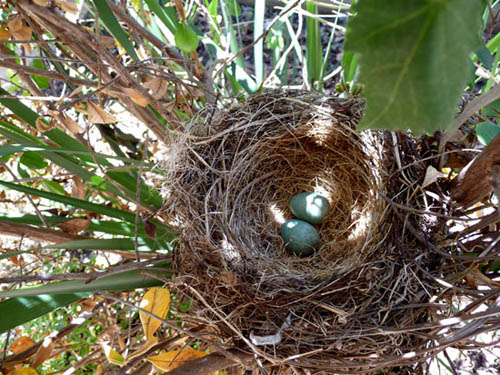 Beautiful blue eggs in our nest in the back courtyard